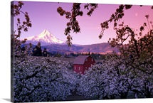 Flowering apple trees, distant barn and Mount Hood, sunrise, Oregon