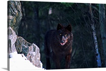 Gray or timber wolf (Canis lupus) on cliff.