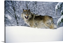 Gray wolf in snow, Montana