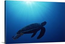 Green sea turtle (Chelonia mydas) silhouetted underwater, Banda Sea, Island of Borneo, Malaysia