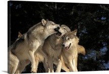 Group of Wolves Playing in Canada