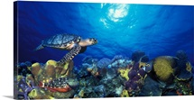 Hawksbill turtle (Eretmochelys Imbricata) and French angelfish (Pomacanthus paru) with Stoplight Parrotfish (Sparisoma viride)