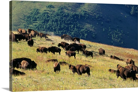 Herd Of Bison (Bison Bison) In Mountain Meadow