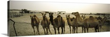 Herd of camels in a farm, Abu Dhabi, United Arab Emirates