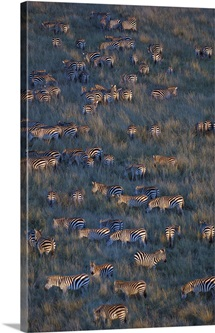 Herd of zebras grazing in a field, Masai Mara National Reserve, Kenya (Equus burchelli chapmani)