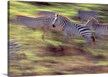 Herd of zebras running, blurred motion, Serengeti National Park, Tanzania.