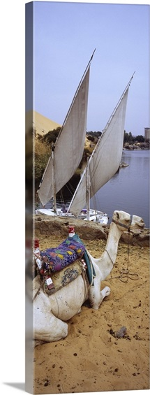 High angle view of a camel resting on sand by the river, Nile River, Aswan, Egypt