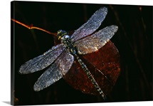 High angle view of blue darner dragonfly on leaf, close up, Canada.