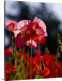 Iceland Poppies (Papaver nudicaule) in a field, Fidalgo Island, Washington State