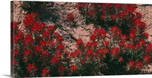 Indian Paintbrush UT