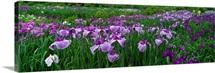 Iris Garden Nara Japan