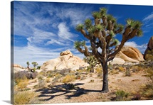 Joshua Tree With Shadow