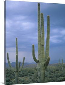 Large Saguaro Cactus in the Sonoran Desert, Tonto National Forest, Arizona