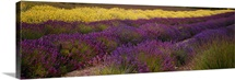 Lavender and Yellow Flower fields, Sequim, Washington
