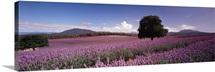 Lavender Farm Nabowla Tasmania Australia
