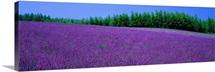 Lavender Field Hokkaido Japan