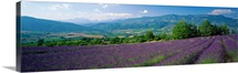 Lavender Field La Drome Provence France
