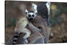 Lemurs in Maki Catta Madagascar