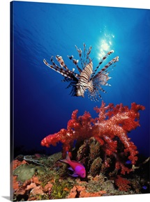 Lionfish (Pteropterus radiata) and Squarespot anthias (Pseudanthias pleurotaenia) with soft corals in the ocean