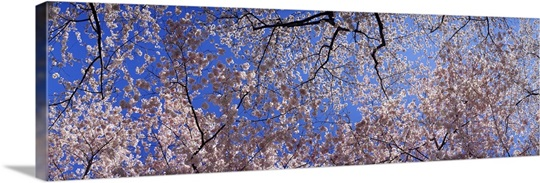 Low angle view of cherry blossom trees, Washington State,