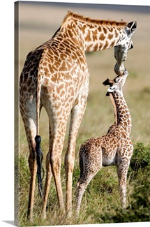 Masai giraffe (Giraffa camelopardalis tippelskirchi) with its calf, Masai Mara National Reserve, Kenya