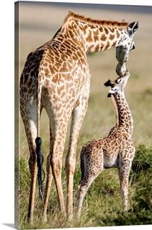 Masai giraffe (Giraffa camelopardalis tippelskirchi) with its calf, Masai Mara National Reserve, Kenya