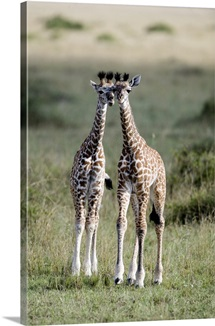 Masai giraffes (Giraffa camelopardalis tippelskirchi) in a forest, Masai Mara National Reserve, Kenya