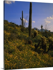 Mexican Gold Poppies (Eschscholzia mexicana) and saguaro cactus on a landscape, Superstition Mountains, Hewitt Canyon, Tonto National Forest, Pinal County, Arizona