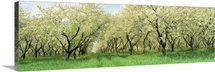 Minnesota, Rows of cherry trees in an orchard