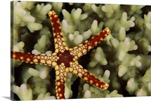 Noduled sea star (Fromia nodosa) on coral underwater, Maldives