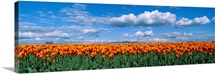 Orange Tulip Field Skagit Valley WA