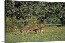 Pair of deer bucks rutting in grassy field, Great Smoky Mountains National Park, Tennessee