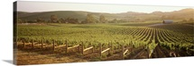 Panoramic view of vineyards, Carneros District, Napa Valley, California