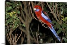 Parakeet on a Tree Branch in Australia