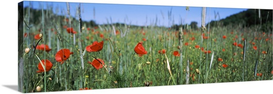 Poppies field in bloom, Baden Wurttemberg, Germany