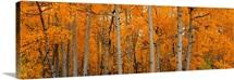 Quaking Aspens Dixie National Forest UT