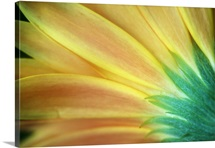 Rear view of gerber daisy flower blossom, detail.