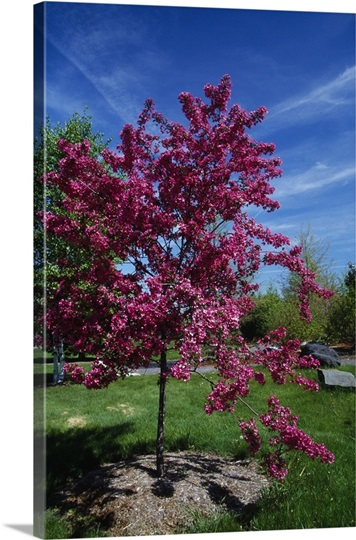 Red prairie crabapple tree (Malus ioensis) in bloom, New York