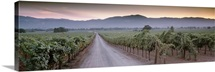 Road in a vineyard, Napa Valley, California