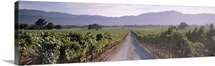 Road through a vineyard, Napa Valley, California