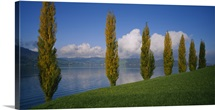 Row of Populus Trees Nr Lake Zug Switzerland