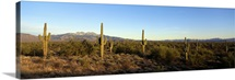 Saguaro cacti in a desert, Four Peaks, Phoenix, Maricopa County, Arizona
