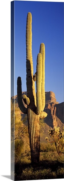 Saguaro Cactus Superstition Mountains Tonto National Forest AZ
