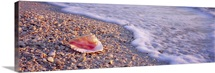 Seashell on the beach, Lovers Key State Park, Fort Myers Beach, Gulf of Mexico, Florida