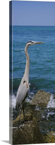 Side profile of a Great Blue heron (Ardea herodias) perching on a rock, Gulf of Mexico, Florida