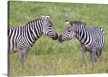 Side profile of two zebras touching their snouts, Ngorongoro Crater, Ngorongoro Conservation Area, Tanzania