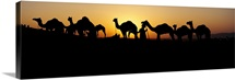 Silhouette of camels in a desert, Pushkar Camel Fair, Pushkar, Rajasthan, India