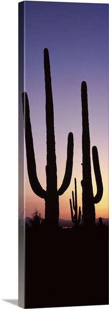 Silhouette of Saguaro cacti Carnegiea gigantea on a landscape Saguaro National Park Tucson Pima County Arizona