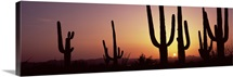 Silhouette of Saguaro cacti Carnegiea gigantea on a landscape Saguaro National Park Tucson Pima County Arizona