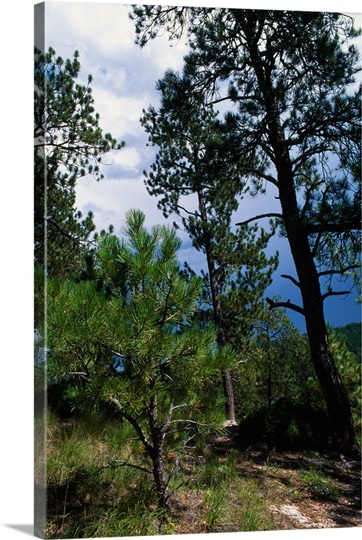 Small sapling and mature ponderosa pine trees south for Mature pine trees
